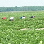 People picking strawberries in the field at Leisure Farms.
