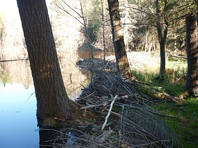 Crossing a beaver dam along the La Cloche Silhouette Trail