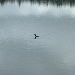 A loon glides on the still waters of Boundary Lake in Killarney Provincial Park.