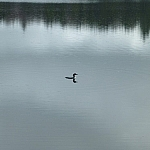 A lone loon swimming on Boundary Lake, shoreline trees reflected on the water's surface.