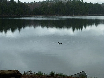 The first of the loons to visit us at our campsite that weekend.