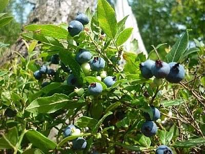 Picking blueberries at the base of a tree...