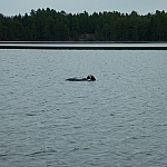 A loon on David Lake, its head in the water.