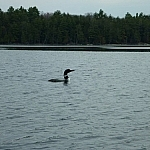 Close-up view of a lone loon while canoeing Killarney Park's David Lake.