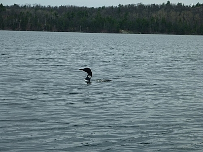 The last of the loons we saw that weekend...