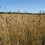 Grain fields of LoonSong Garden set against a stunning clear blue sky