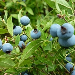 Big blueberries!