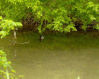 Mallard on the Lower Don River, Toronto, Ontario.
