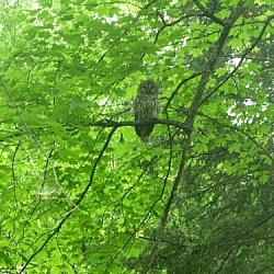Mother owl staring directly at me, perched in a tree in a my backyard.