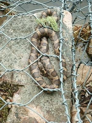 Milk snake sunning itself on a rocky shore at Samuel de Champlain Park near Mattawa.