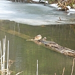 A muskrat sits on a submerged log that has one end sticking out of the water.