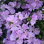 Smattering of mauve garden flowers