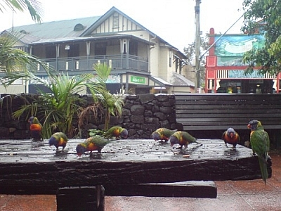 These parakeets, pecking away on a picnic table, likely have an easy time of getting around to their travel destinations.
