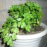 Growing parsley in a pot on the porch