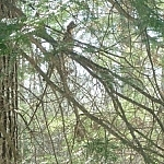 A partridge sits on a tree branch along a Dokis First Nation hiking trail.