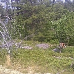 A wild forest scene with Lake Nipissing peeping through the trees in the background, a picker amongst the wild bushes before the treeline.