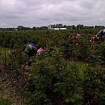 A few people picking raspberries in the well-tended rows at Leisure Farms, the sky grey and overcast.