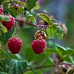Raspberries dangling from a branch.