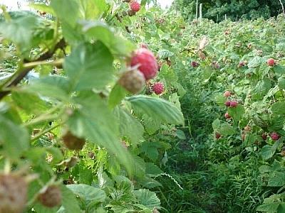 Picking raspberries caused some very sweet dreams!