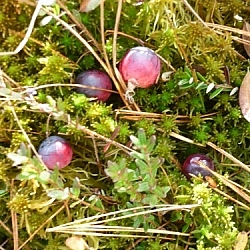 Wild cranberries in wet moss.