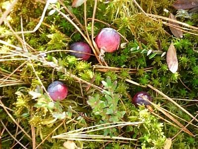 Wild cranberries in wet moss.