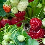 Close-up view of red and white strawberries in a patch.