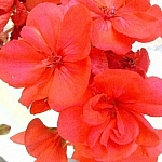 Bright red garden flowers