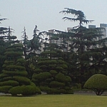 Beautifully sculpted trees seen at Busan's U.N. Cemetary.