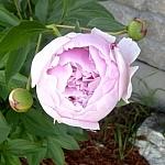 Pale pink garden flower