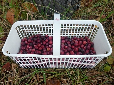 Small basket of cranberries