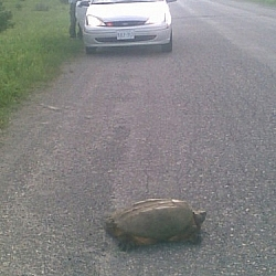 Snapping turtle crossing a road in French River.