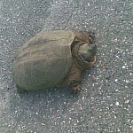 Close-up of a huge snapping turtle.