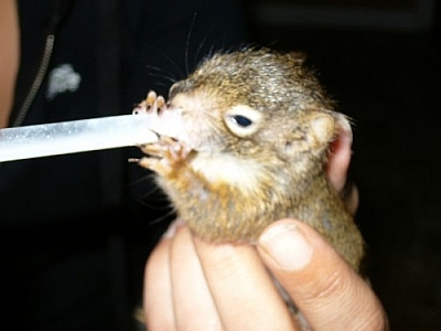 Baby squirrel suckling from a dropper.