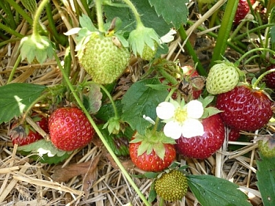 Strawberries... and a white flower.
