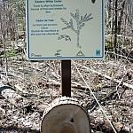 Sign describing the swamp tree Eastern White Cedar.
