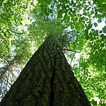 A vertical view up a large old growth tree's trunk, a green leafy canopy overhead.