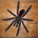 This spider may or may not be similar to the time when I was sleeping with tarantulas at Picaflor.