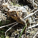 Large brown toad sitting on similarly-coloured dry grass.