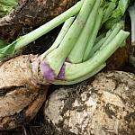 Turnips, dirt still clinging to them.