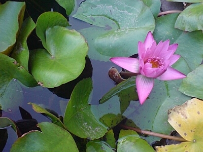 Water lily and lily pads.