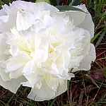 Large white garden flower