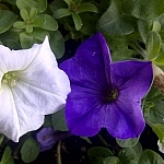 White and violet garden flowers
