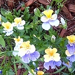 Purple, yellow, and white garden flowers