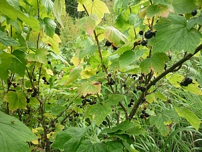 Branch full of black currants.