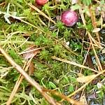 Wild cranberries, one still a little white