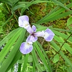 Purple wild flower — a type of orchid.