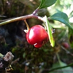 Close-up of a single wintergreen berry hanging from a twig.