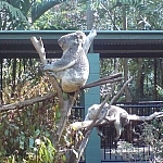 Koalas sitting in funny positions — cute!