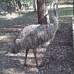 An emu.