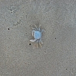 Tiny blue translucent crab seen on Alexandria Beach.